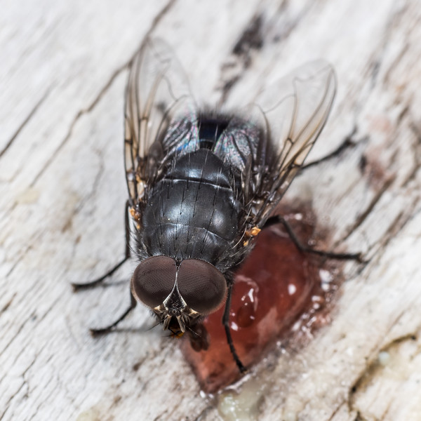 New Zealand blue blowfly (Calliphora quadrimaculata) male. Lake Poteriteri, Fiordland National Park.