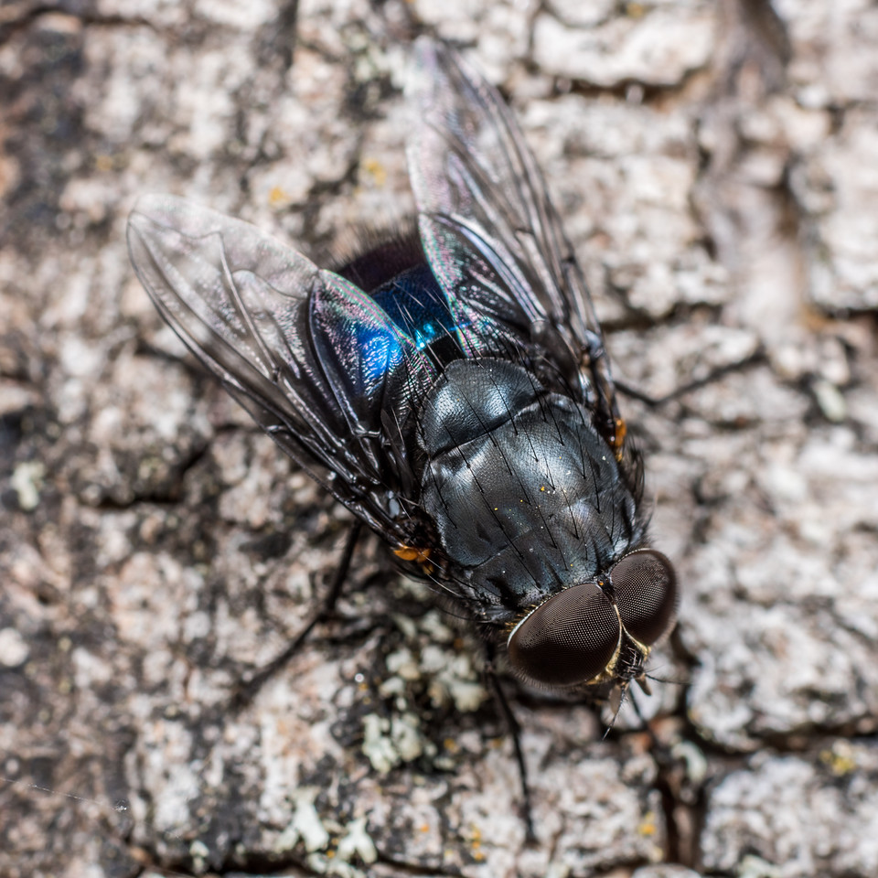 New Zealand blue blowfly (Calliphora quadrimaculata) male. Deep Stream, Otago.