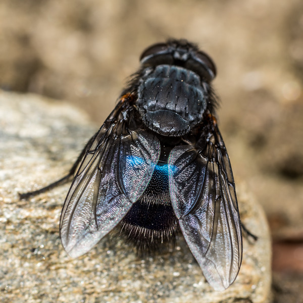 New Zealand blue blowfly (Calliphora quadrimaculata) female. Deep Stream, Otago.