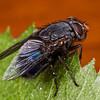 New Zealand blue blowfly (Calliphora quadrimaculata) female. Opoho, Dunedin.