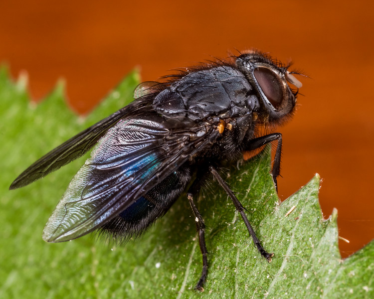 New Zealand blue blowfly (Calliphora quadrimaculata) female. Opoho, Dunedin.