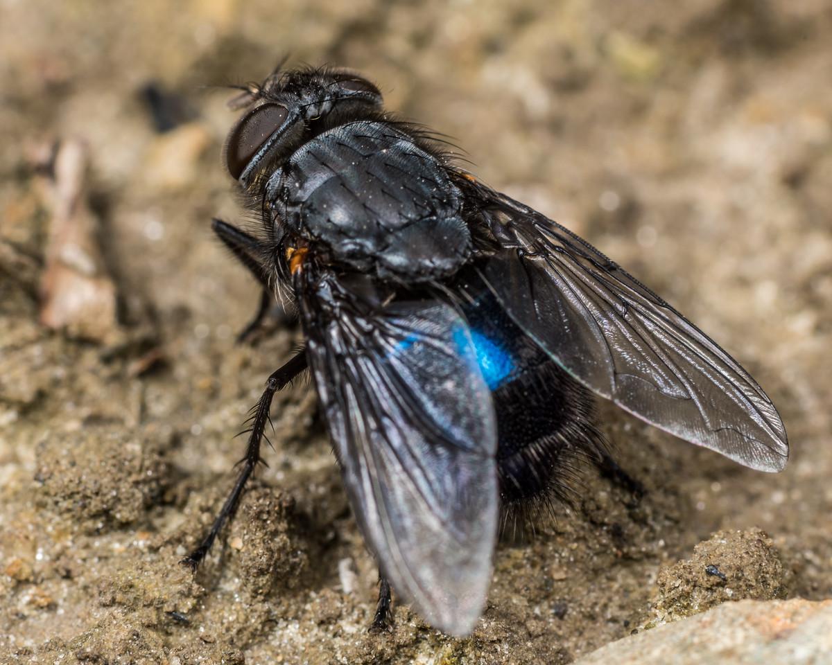 New Zealand blue blowfly (Calliphora quadrimaculata) female. Deep Stream, Otago.