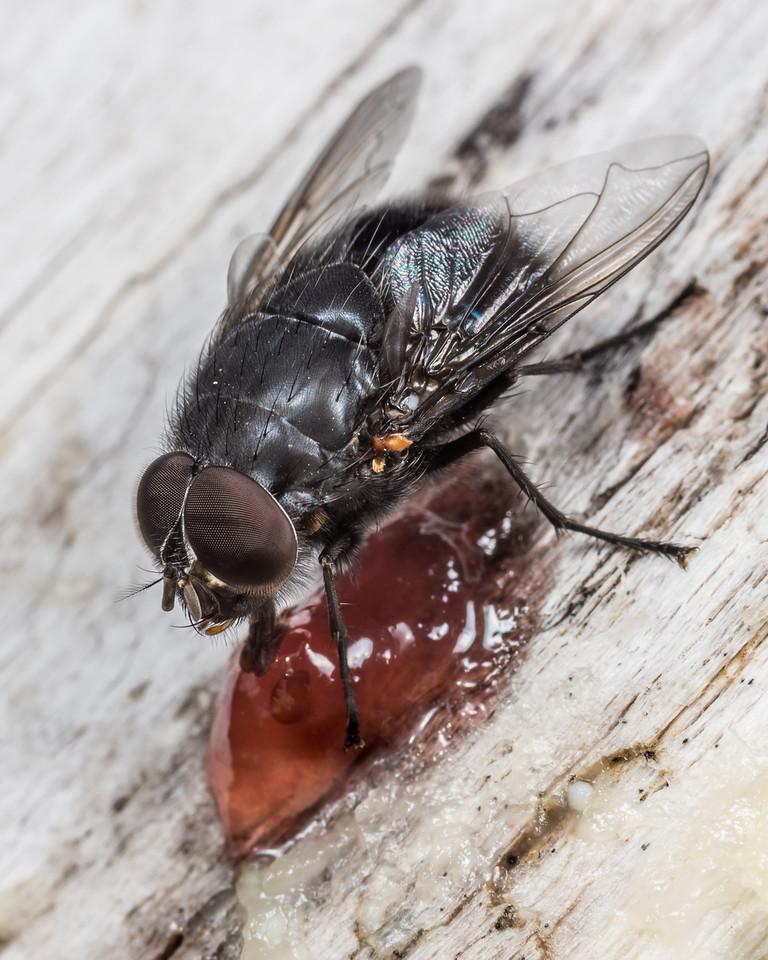 New Zealand blue blowfly (Calliphora quadrimaculata) male. Lake Poteriteri, Fiordland National Park.