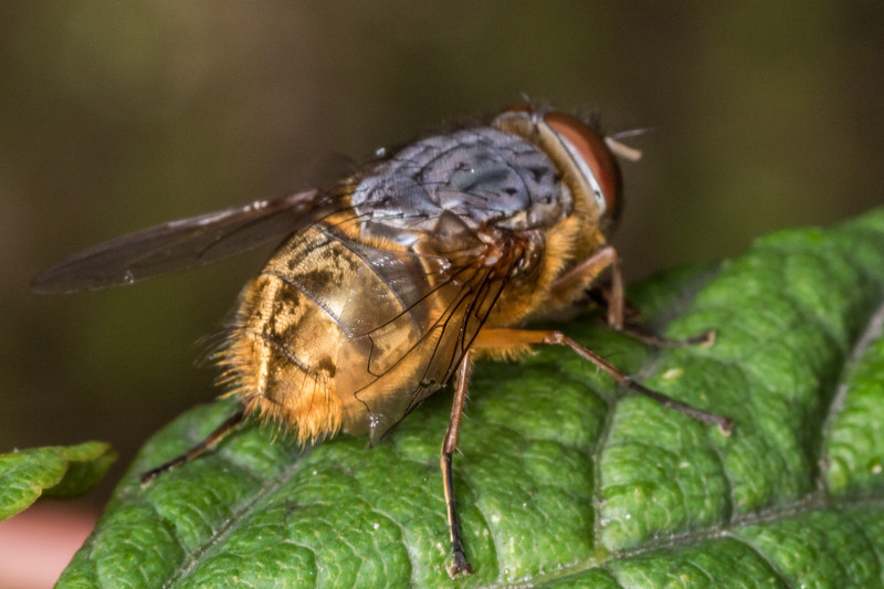 Brown blowfly (Calliphora stygia). Mt Stuart Tunnel Reserve, Manuka Gorge, Otago.