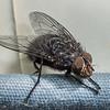 Blue bottlefly (Calliphora vicina) male. Opoho, Dunedin.