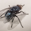 Blue bottlefly (Calliphora vicina). Opoho, Dunedin.