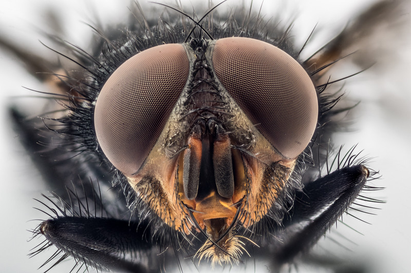 Blue bottlefly (Calliphora vicina) male. Opoho, Dunedin.