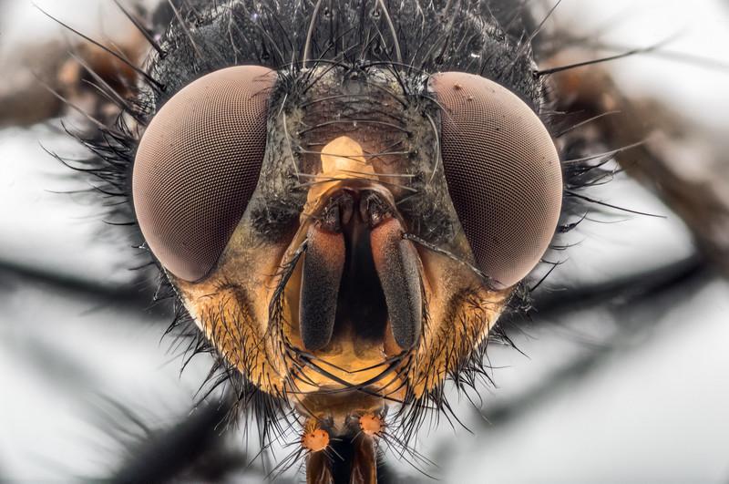 Blue bottlefly (Calliphora vicina) female. Opoho, Dunedin.