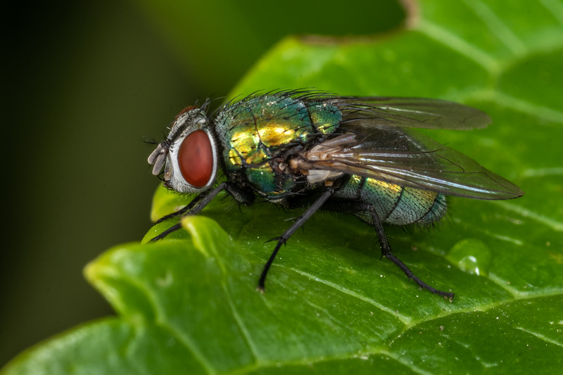 Common green bottle fly (Lucilia sericata). Spreydon, Christchurch.