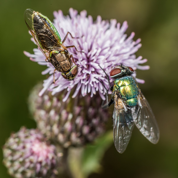 Soldier fly (Odontomyia chloris) and common green bottle fly (Lucilia sericata) on thistle flower. Deep Stream, Otago.