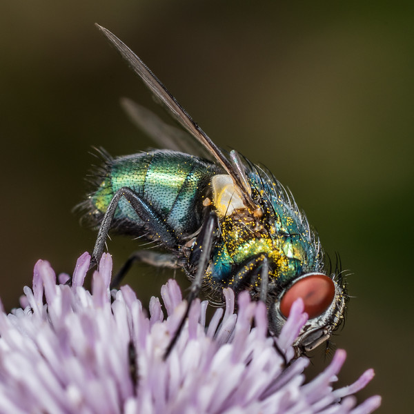 Common green bottle fly (Lucilia sericata). Deep Stream, Otago.