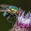 Common green bottle fly (Lucilia sericata). Deep Stream, Otago.