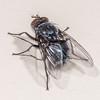 Small blue blowfly (Xenocalliphora hortona). Opoho, Dunedin.