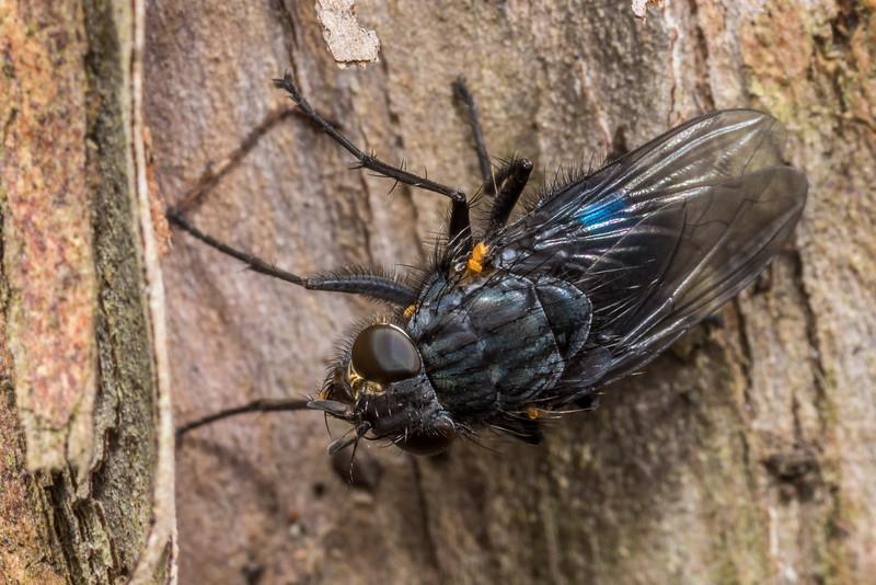 Blowfly (Xenocalliphora neozealandica). Opoho, Dunedin.