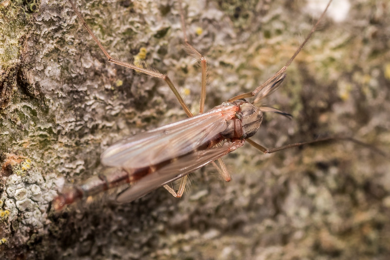Common midge (Chironomus zealandicus). Butchers Dam, Alexandra, Central Otago.