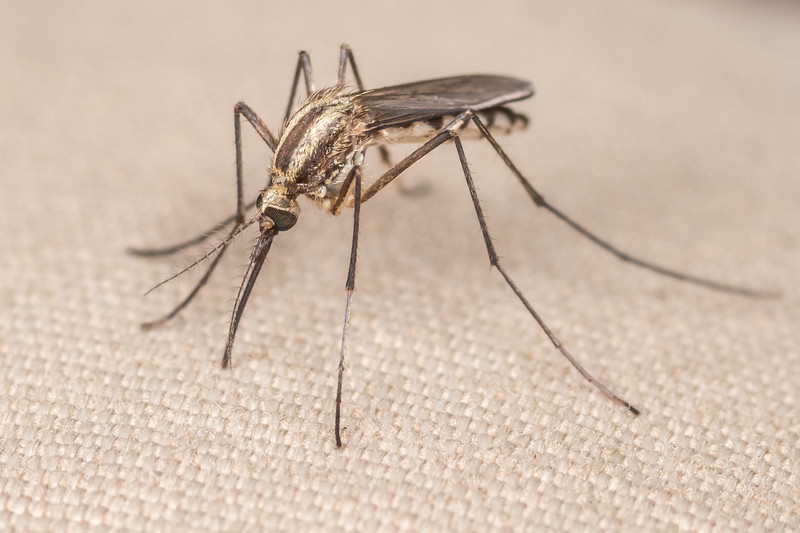 Plains floodwater mosquito (Aedes trivittatus). Wild River State Park, MN, USA.