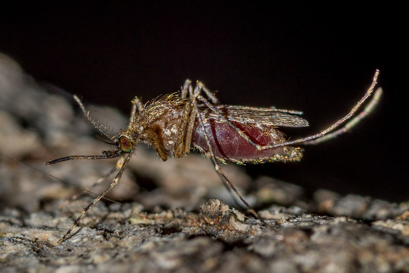 Mosquito, probably Aedes vexans - fed with my own blood. St Croix Falls, WI, USA.