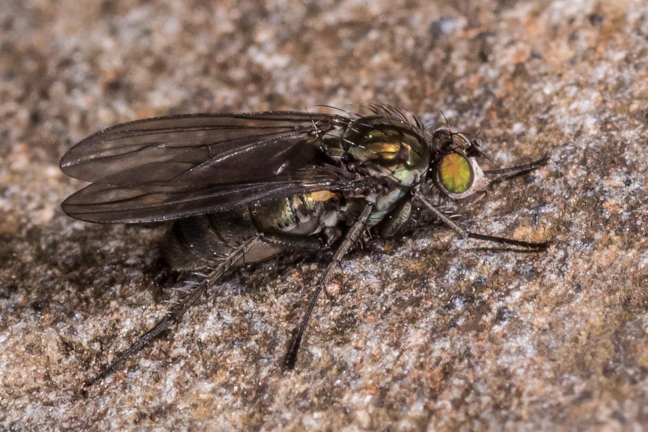 Long-legged fly (Family Dolichopodidae). Cave Creek, Gouland Downs, Kahurangi National Park.
