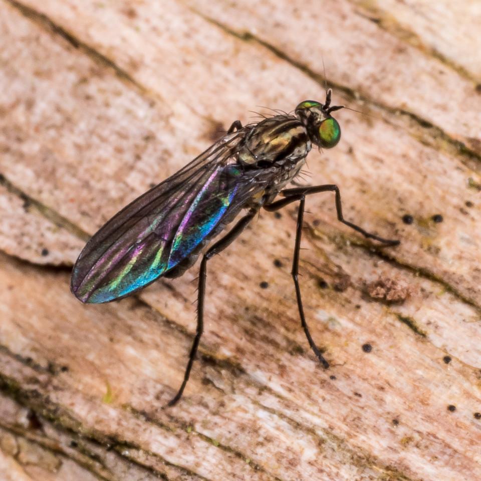 Long-legged fly (Family Dolichopodidae). Flora Hut, Kahurangi National Park.