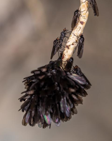 Dance flies (Family Empididae). Brook Waimarama Ecosanctuary, Nelson.