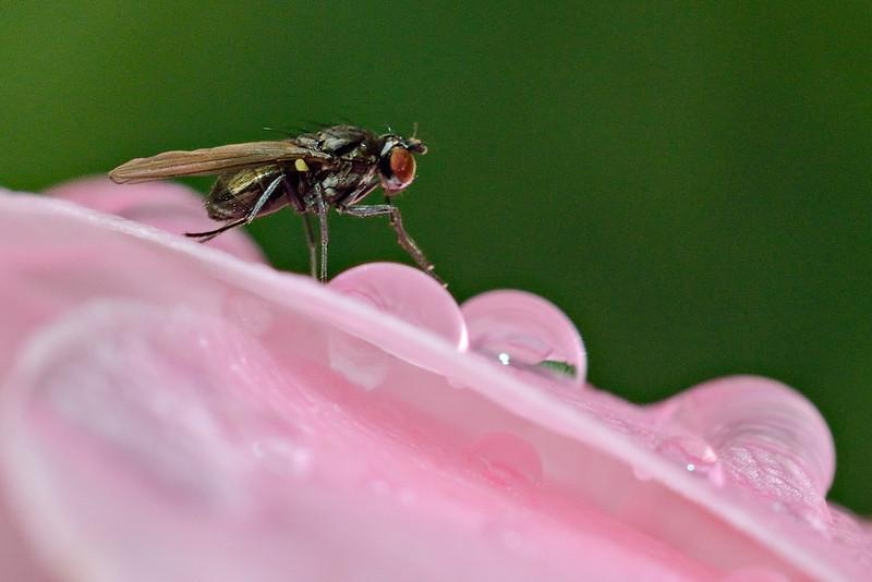 Shore fly (Hydrellia spp.) on rose petal. Opoho, Dunedin.