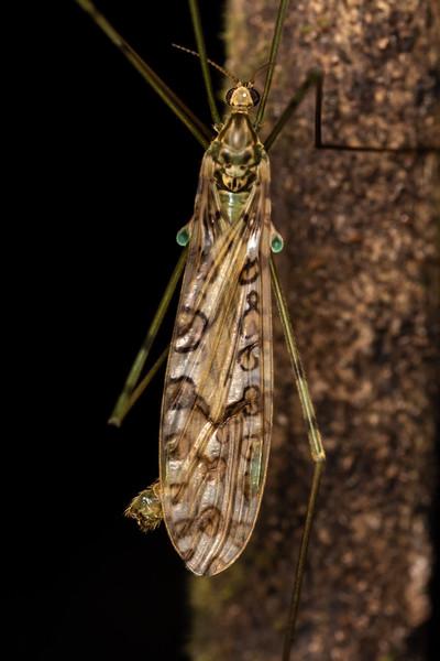 Cranefly (Austrolimnophila argus). Awatiro Farm, Waitomo.