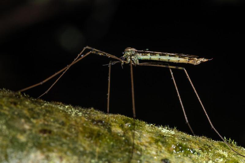 Cranefly (Austrolimnophila argus). Blue Lake, Rotorua.