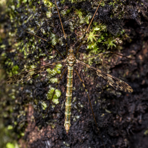 Austrolimnophila argus. Port Craig, Fiordland National Park.