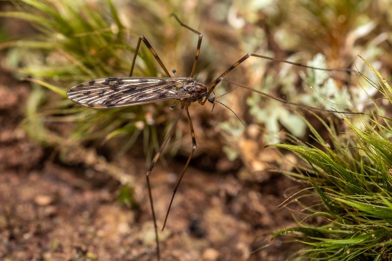 Limoniid fly (Austrolimnophila chrysorrhoea). Piano Flat, Waikaia Forest.