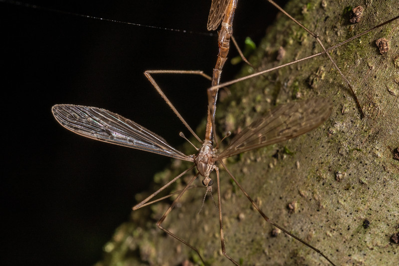 Limoniiid crane fly (Austrolimnophila crassipes). Nikau Creek, Wainuiomata, Wellington.