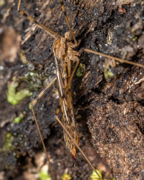 Crane fly (Austrolimnophila lambi). Kiwi Burn mouth, Fiordland National Park.
