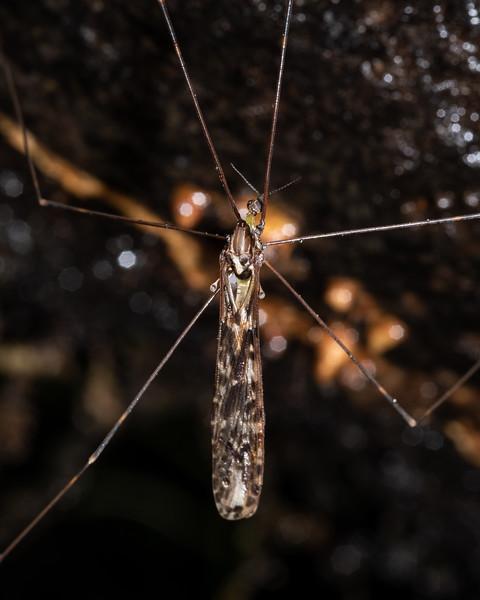 Cranefly (Discobola dohrni). Blue Lake, Rotorua.