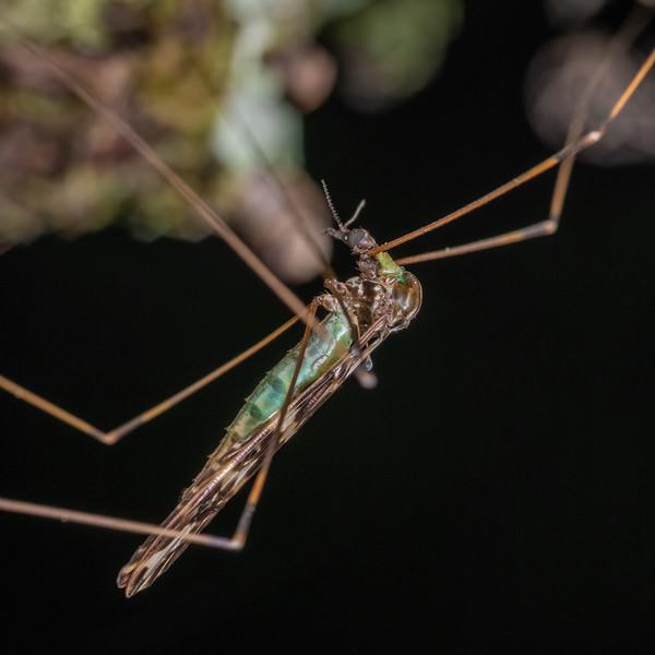 Crane fly (Discobola dohrni). Smoothwater Bay, South Westland.