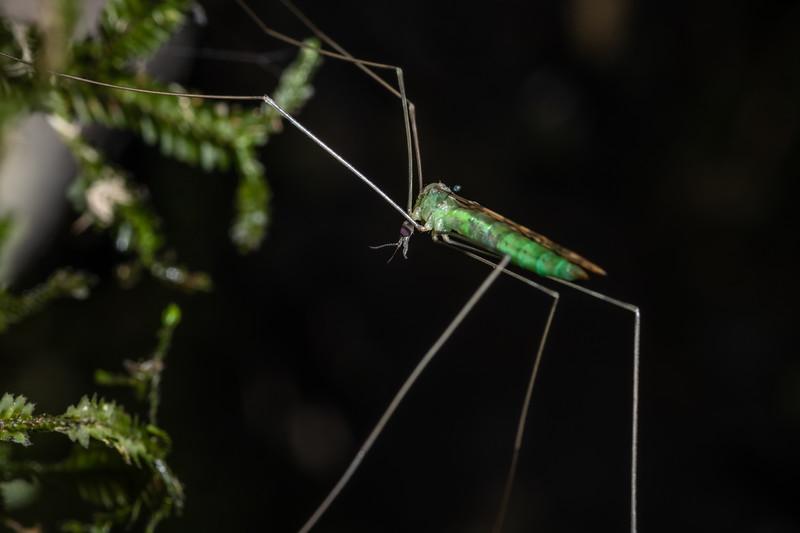 Limoniid cranefly (Discobola tessellata). Te Whare Okioki, Kaimai Range, Waikato.
