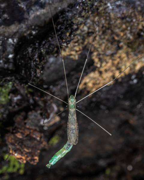 Limoniid cranefly (Discobola spp.). Te Whare Okioki, Kaimai Range, Waikato.