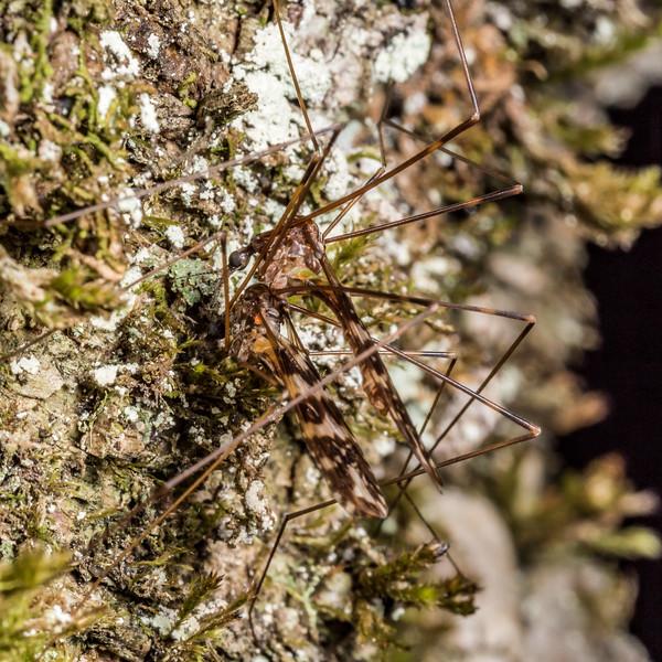 Crane fly (Discobola spp.). Matukituki River East Branch, Mount Aspiring National Park.