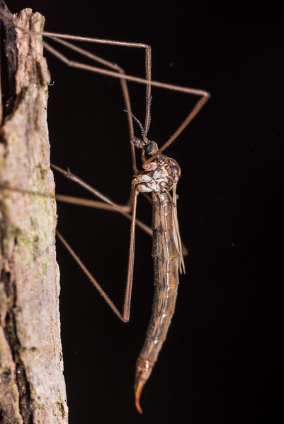 Crane fly (Gynoplistia notata) female. Westies Cave, Prices Harbour, Fiordland National Park.