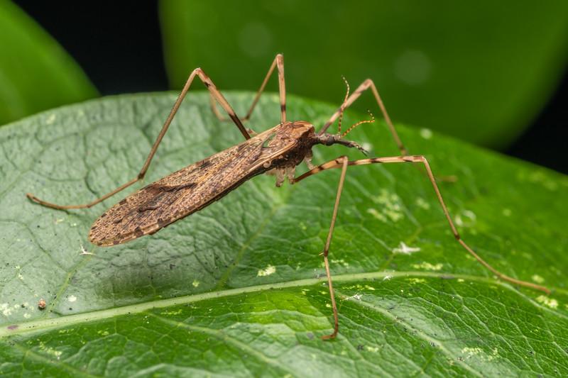 Cranefly (Rhamphophila sinistra). The Pinnacles, Coromandel.