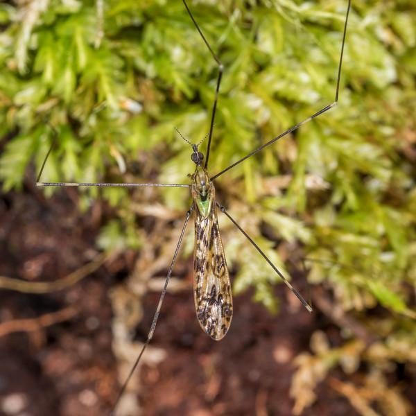 Crane fly (Family Limoniidae). Sandy Bay, Lake Waikareiti, Te Urewera National Park.