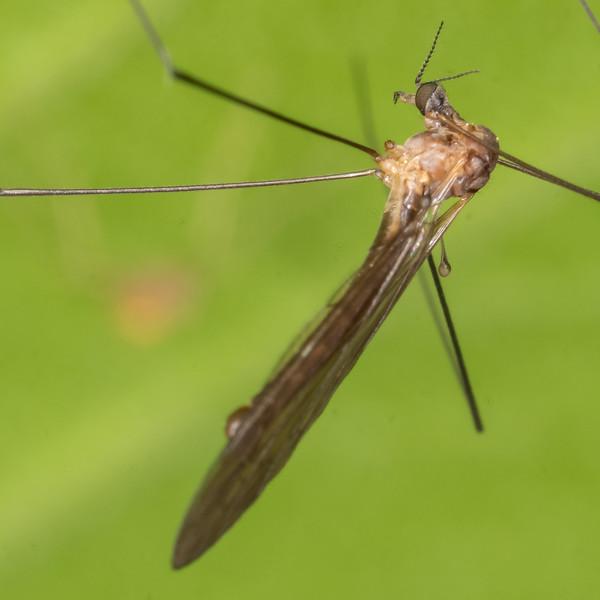 Crane fly (Family Limoniidae). Opoho, Dunedin.