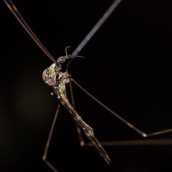 Crane fly (Family Limoniidae). Raspberry Flat, Matukituki River West Branch.
