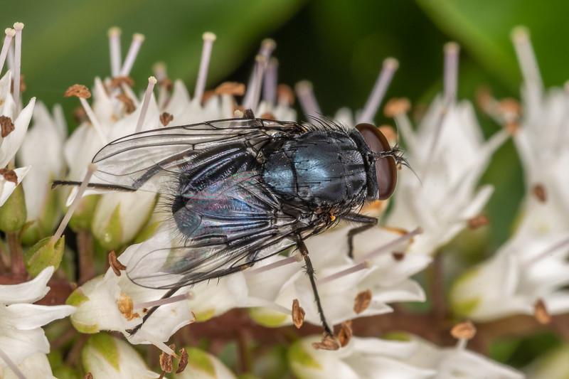 Calliphoroides antennatis. Sinclair Wetlands, Dunedin.