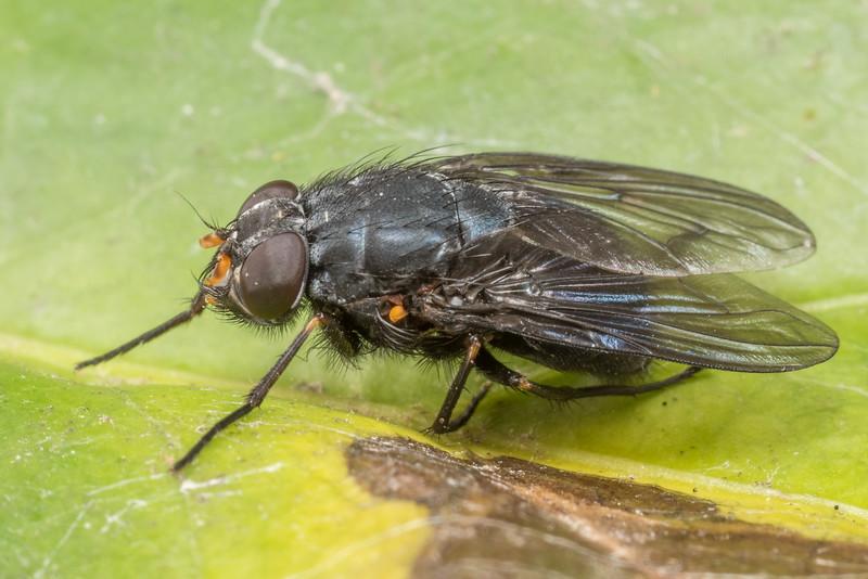 Calliphoroides antennatis. Opoho, Dunedin.
