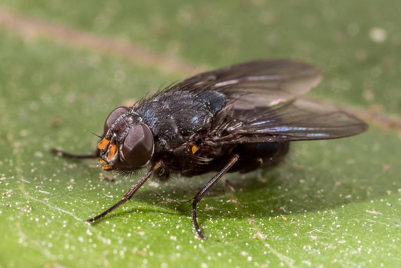 Calliphoroides antennatis female. Opoho, Dunedin.