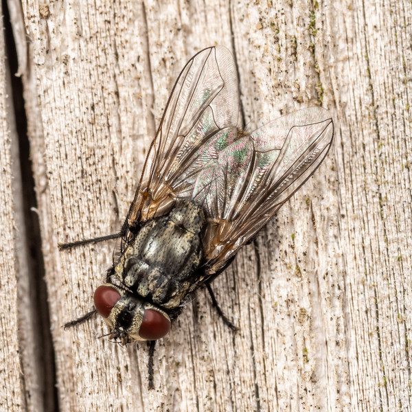 Face fly (Musca autumnalis). Wild River State Park, MN, USA.