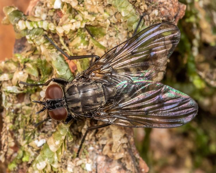 House fly (Family Muscidae). Buckland Peaks, Paparoa Range.