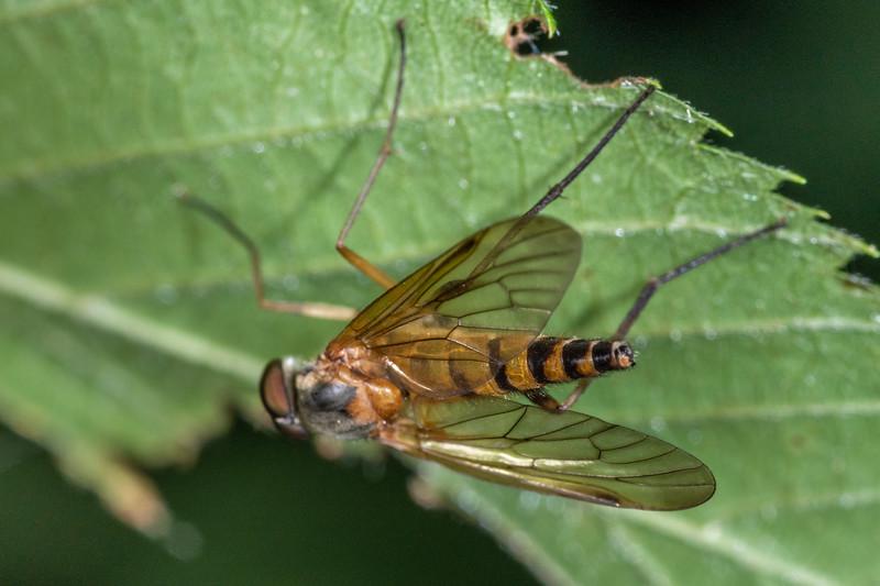 Snipe fly (Rhagio vertebratus). Wild River State Park, MN, USA.