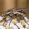 Striped dung fly (Oxysarcodexia varia) on yarrow (Achillea millefolium). Deep Stream, Otago.
