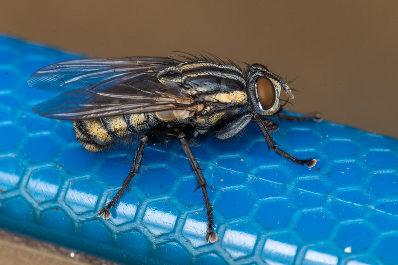 Striped dung fly (Oxysarcodexia varia). Pukaki River, MacKenzie Basin