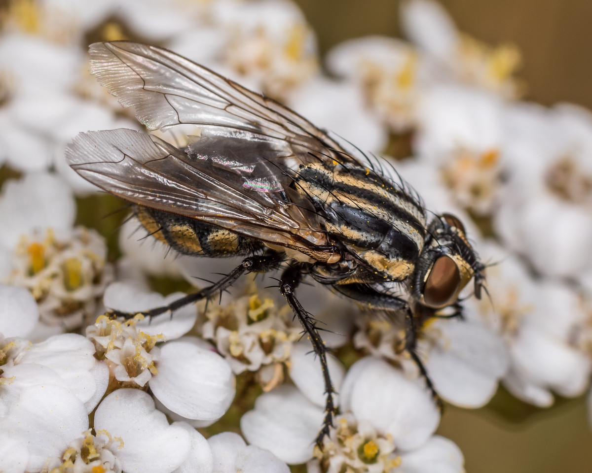 Striped dung fly (Oxysarcodexia varia) on yarrow (Achillea millefolium). Deep Stream, Otago.